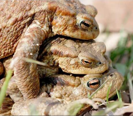Il arrive qu'un crapaud grimpe sur un autre crapaud, lui-même déjà accroché au dos d'une femelle. (La photo vient d'ici)