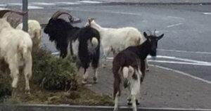 Chèvres.