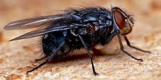 La mouche, une sacrée baiseuse!
