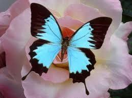 Les femelles papillons sont à la fois belles et odorantes, elles n'utilisent pas de déodorant vaginal.